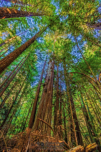 """Through the Trees,"" Redwood National and State Parks, California"