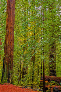 """Eternal Growth,"" Redwood National and State Parks, California"