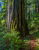 Sun To Shade On Giant Redwood