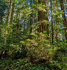 Redwood Stands Over Old Fern Lined Road Cut