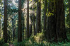 Sunrays Penetrate Fog In Remembrance Grove