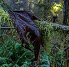 Rotting Brown Maple Leaf