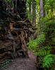 Trail Slips Around Roots Of Fallen Tree