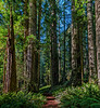 Cathedral Trail Passes Through Nice Stand Of Redwoods