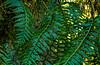 Soaking Wet Ferns Fronds