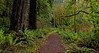 Foothill Trail Divides Redwoods From Maples in Places