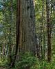 Giant Redwood At 2.85 Mile Mark