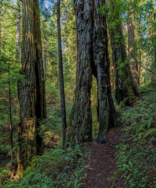 Walk Through Tree_Hope Creek Trail
