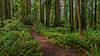 Loop Trail Passes Through Very Open Forest Carpeted by Sword Ferns