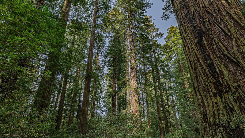 The Trail Takes You Through a Magnificent Ridgetop Redwood Forest