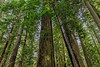 Huge Redwood Lends a Hand to Leaning Tree