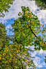 Big Leaf Maple Reaches For Sky