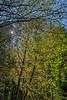 Sunstars & Maples
