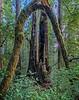 View of the Two Redwoods Framed Inside a Broken Hardwood Tree Trunk