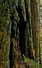 Highly Fluted Trunk Of A Dying Giant_Detail