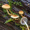 Pholiota - These Are Really Common Along the Wet Trails