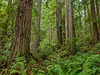 Volunteers Grove_Dedicated To People Who Worked Hard For the Establishment of Redwood National Park