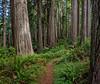 Level Section of West Ridge Trail_Unusually Light Bark on Big Redwood on Left