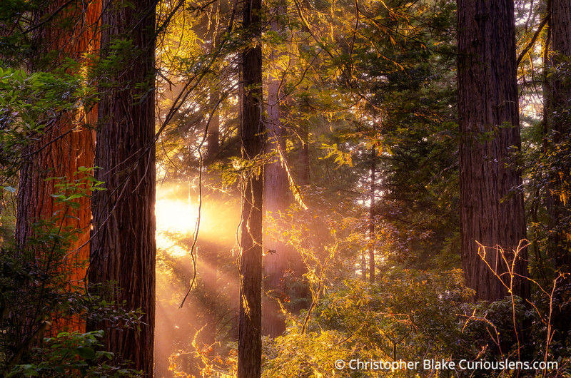 Yellow Rays - Redwoods National Park