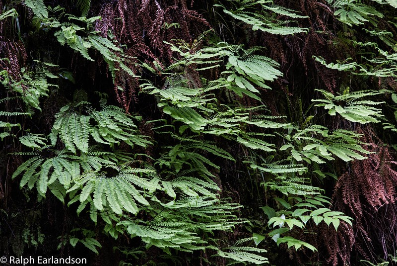 Ferns in Fern Canyon, Prairie Creek State Park.