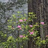 Rhododendrons in bloom in Redwoods National Park.