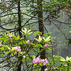 Rhododendrons in bloom in the Del Norte Coast Redwoods.