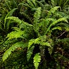 Ferns in Prairie Creek Redwoods.
