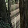 Sunbeams among the Jedediah Smith Redwood giants.