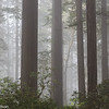Lady Bird Johnson Grove of Redwoods in fog.