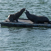 Sealions at play on a floating dock in Crescent City.