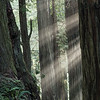 Sunbeams among the Jedediah Smith Redwood giants.