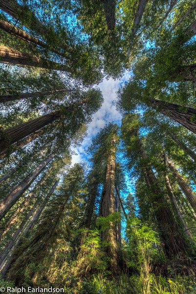 A skyward view of the Jedediah Smith Redwoods through a wide-angle (14mm) lens.