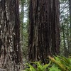 Lady Bird Johnson Grove of Redwoods.