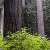 Prairie Creek Redwoods.