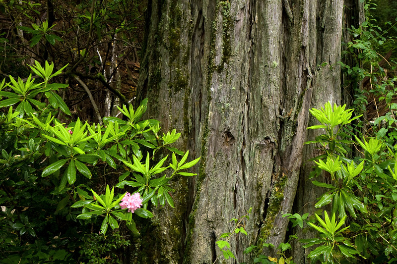 Close up of Redwood and Rhodies.