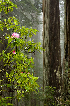 Redwoods and Rhododendrons on a foggy morning in Del Norte State Park. Probably my favorite photo from the trip and can only imagine the abundance of flowers within the next week or two. Was so happy to get some foggy conditions on my last morning of the trip.