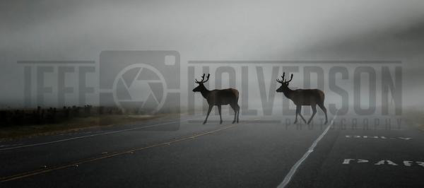 Roosevelt Elk in Redwood's National Park, California on a foggy morning.