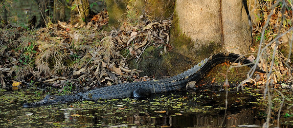 Alligator spotted during pontoon boat ride at Reed Bingham State Park.
