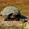 The elusive Gopher Tortoise spotted at Reed Bingham State Park.