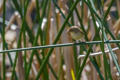 Marsh Warbler ~ Kærsanger