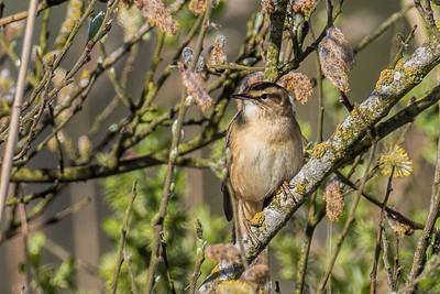 Sedge Warbler ~ Sivsanger