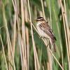 Sedge Warbler - Sivsanger