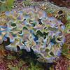 Lettuce Sea Slug 2724A