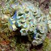 Lettuce Sea Slug 2723A
