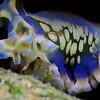 Lettuce Sea Slug 2717B