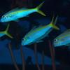 Yellow Goatfish 5409