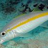 Yellow Goatfish 9433