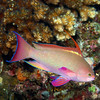 Scalefin Anthias 0467