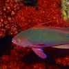 Scalefin Anthias 0747