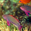 Scalefin Anthias 0677